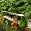 Culture in a greenhouse strawberry and strawberries — Stockfoto