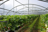 Culture in a greenhouse strawberry and strawberries — Stock Photo