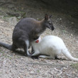 Albino wallaby in the process of sucking his mother - Stock Photo