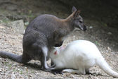 Albino wallaby in the process of sucking his mother — Stock Photo