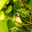 Stock Photo: Baby blue tit, chick