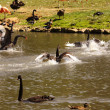 Black swan, anatidae — Stock Photo #7130302