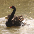 Black swan, anatidae — Stock Photo