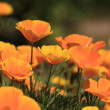 Eschscholtzia of California, california poppy — ストック写真