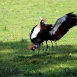 Crowned crane - Stock Photo