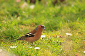 Chaffinch wood with beautiful colors — Stock Photo