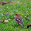 Stock Photo: Chaffinch wood with beautiful colors