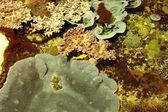 Récifs marins tropicaux avec les coraux et les poissons chirurgiens — Photo