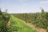 Apple orchard in summer, covered with colorful apples — Stock Photo