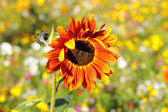 Colorful flowers, selective focus on sunflower orange — Stock Photo
