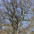 Large old oak in the winter sun — Foto Stock