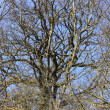 Large old oak in the winter sun — Foto de Stock
