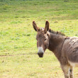 Quiet donkey in a field in spring - Stock Photo
