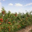 Apple orchard in summer, covered with colorful apples -  
