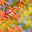 Maple in autumn with red and orange leaves — Stockfoto