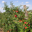 Apple orchard in summer, covered with colorful apples — Stockfoto