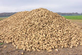 Sugar beet pile at the field after harvest — Stock Photo