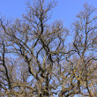 Large old oak in the winter sun — Stock Photo