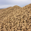 Sugar beet pile at the field after harvest - Stockfoto
