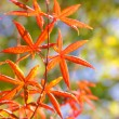 Maple in autumn with red and orange leaves — Stock Photo