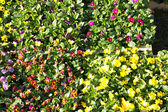 Pansy pots for sale in a market in the autumn — Stock Photo