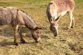 Quiet donkey in a field in spring — Стоковое фото