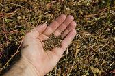 Buckwheat in hand — Stock Photo