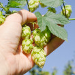 Green hops in hand — Stock Photo