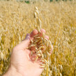 Oats closeup in hand — Stock Photo