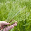 Ear of green wheat in hand — Stock Photo