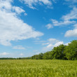 Field of green wheat near wood — Stock Photo #7779812