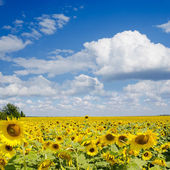 Sunflower field under cloudy sky — Stock Photo