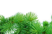 Close-up of pine branches — Stockfoto