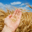 Gold harvest in hand — Stock Photo #7953083