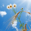 Stock Photo: Daisy with wheat under blue sky with sun