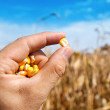 Maize in hand over field — Stock Photo #7953269
