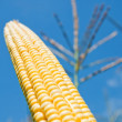 Fresh maize under deep blue sky - Stock Photo