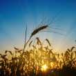 Wheat ears against the blue sky with sunset — Stock Photo