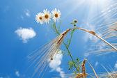 Daisy with wheat under blue sky with sun — Stock Photo