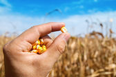 Maize in hand over field — Stock Photo