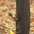 Red squirrel sitting on tree — Stock Photo #7817211