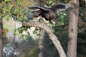 Wild Turkey In Tree — Stock Photo