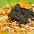 Stock Photo: Puppy playing in autumn leaves.