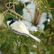 Стоковое фото: Chickadee hanging upside down.