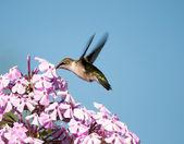 Hembra colibrí garganta rubí. — Foto de Stock