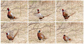 Ring necked pheasant mating dance collage. — Stock Photo