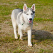 Stock Photo: Extremly rare miniature SiberiHusky dog.