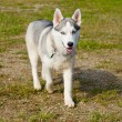 Extremly rare miniature Siberian Husky dog. — Stock Photo