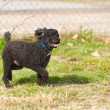 Stock Photo: Happy miniature poodle enjoying freedom.