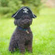 Постер, плакат: Pirate hat on a poodle